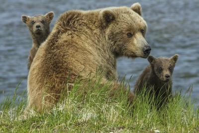 https://imgc.allpostersimages.com/img/posters/brown-bear-sow-and-cubs-katmai-national-park-alaska-usa_u-L-Q1D0HKP0.jpg?p=0