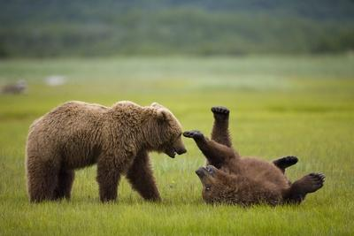 https://imgc.allpostersimages.com/img/posters/brown-bears-sparring-in-meadow-at-hallo-bay_u-L-PZNB7D0.jpg?p=0
