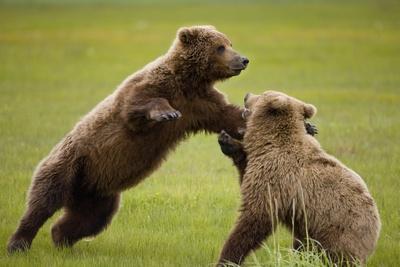 https://imgc.allpostersimages.com/img/posters/brown-bears-sparring-in-meadow-at-hallo-bay_u-L-PZNBT90.jpg?p=0