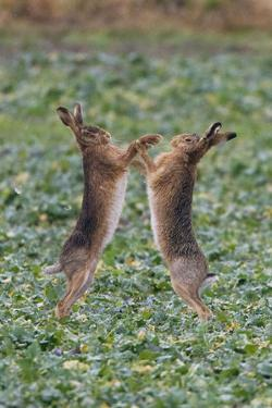 Brown Hares Two Boxing