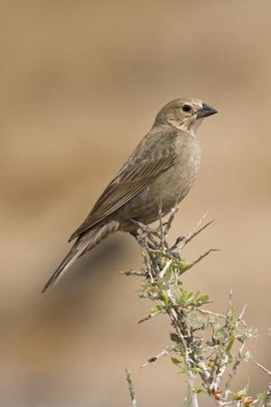 Brown-Headed Cowbird Female