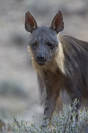 https://imgc.allpostersimages.com/img/posters/brown-hyena-hyaena-brunnea-formerly-parahyaena-brunnea_u-L-PWFE0V0.jpg?p=0