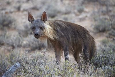 https://imgc.allpostersimages.com/img/posters/brown-hyena-hyaena-brunnea-formerly-parahyaena-brunnea_u-L-PWFFGV0.jpg?p=0