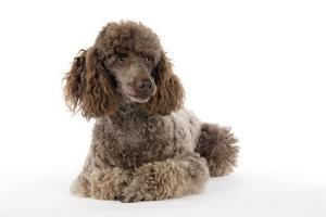 Brown Miniature Poodle Lying Down