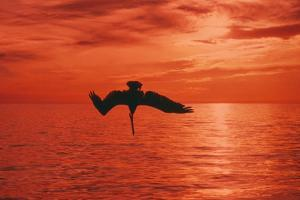 Brown Pelican Diving for Fish, Sunset