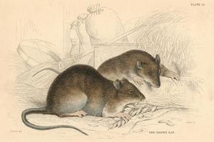Brown Rat (Rattus Rattu), 1828