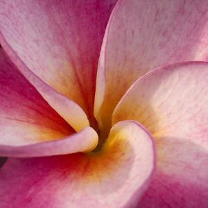 Detail of Plumeria at Molokai Plumerias, Molokai, Hawaii, USA by Bruce Behnke