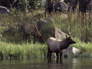 Moose in Yellowstone River, Yellowstone National Park, WY by Bruce Clarke
