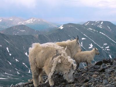Mountain Goats, Western Wyoming