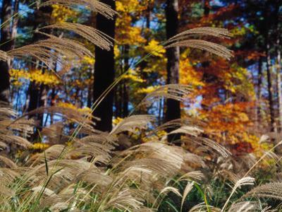 Wind Blow, Autumn Tall Grass