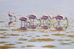 Spoonbills Feeding by Bruce Dumas