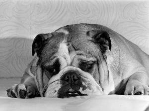 Bruce the Old English Bulldog Not Feeling His Best, November 1978