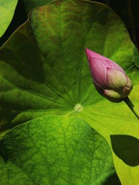 Lotus flower at Bang Pa-in Summer Palace in Thailand by Bruno Ehrs