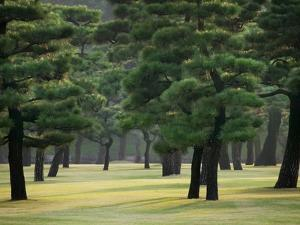 Pine Trees in Garden by Bruno Ehrs