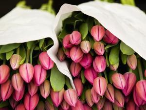 Pink Tulips Wrapped in Paper by Bruno Ehrs