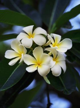 White frangipani flower by Bruno Ehrs