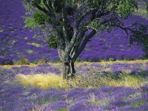 Lavender Field, Vaucluse, Sault, Provence-Alpes-Cote D'Azur, France by Bruno Morandi