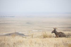 Usa, South Dakota, Badlands National Park, Deer on Plain by Bryan Mullennix
