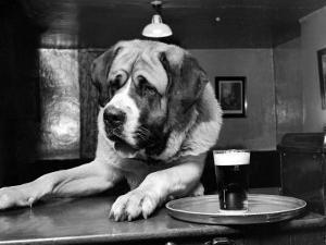 Bryan the St. Bernard Dog Enjoys a Pint, February 1956