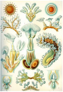 Bryozoa Nature Print Poster by Ernst Haeckel
