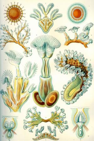 Bryozoa Nature Print Poster by Ernst Haeckel