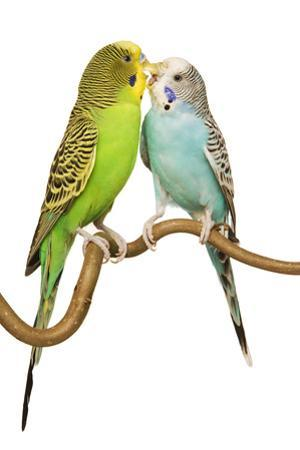 Budgerigars Two on Perch