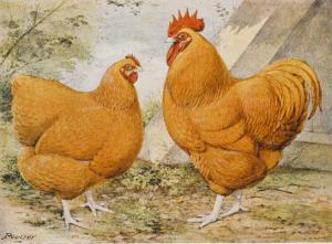 Buff Orpington Cock and Hen