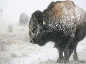 Buffalo Looks for Something to Eat in Blowing Snow at the Terry Bison Ranch, Wyoming