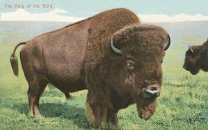 Buffalo on the Range