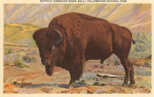Buffalo, Yellowstone Park, Montana