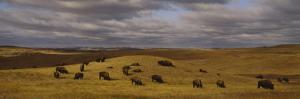 Buffaloes Grazing on a Landscape, North Dakota, USA