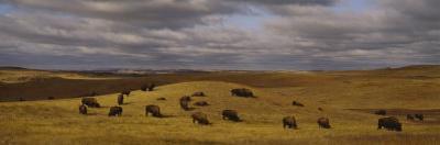 Buffaloes Grazing on a Landscape, North Dakota, USA