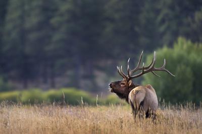 https://imgc.allpostersimages.com/img/posters/bull-elk-cervus-canadensis-bugling-in-meadow-colorado-usa_u-L-Q1D0P9N0.jpg?artPerspective=n