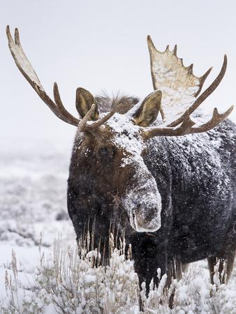 https://imgc.allpostersimages.com/img/posters/bull-moose-covered-in-snow_u-L-Q10T7NX0.jpg?p=0