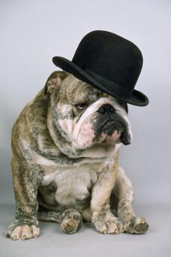 Bulldog Wearing Bowler Hat