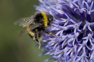 Bumble Bee Gathering Pollen and Nectar from Echinopsritro