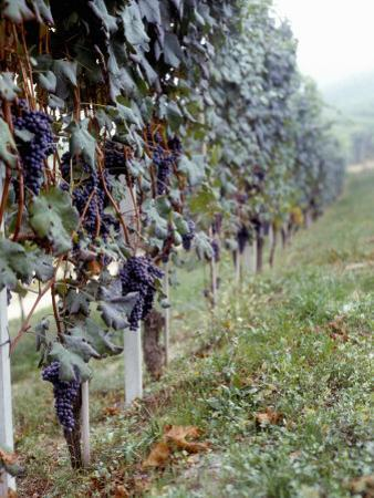 Bunches of Grapes Growing in a Vineyard, Barbaresco Docg, Piedmont, Italy
