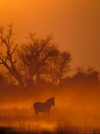 https://imgc.allpostersimages.com/img/posters/burchell-s-zebra-at-sunset-okavango-delta-botswana_u-L-P5808W0.jpg?p=0