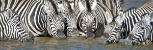 Burchell's Zebras (Equus Quagga Burchellii) at Waterhole, Etosha National Park, Namibia