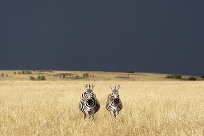 https://imgc.allpostersimages.com/img/posters/burchell-s-zebras-on-savanna-below-stormy-sky_u-L-PZNCM80.jpg?p=0