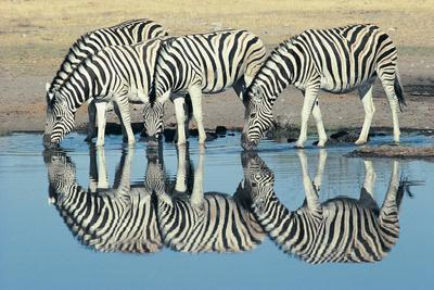 https://imgc.allpostersimages.com/img/posters/burchells-zebra-equus-burchelli-drinking-at-waterhole-etosha-namibia_u-L-Q10CQ9R0.jpg?artPerspective=n
