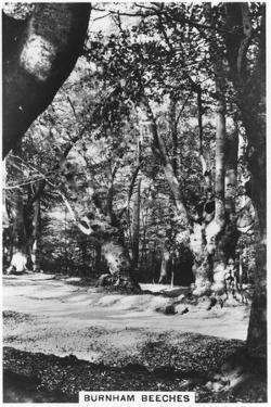 Burnham Beeches, Buckinghamshire, 1937