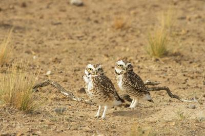 https://imgc.allpostersimages.com/img/posters/burrowing-owl-speotito-cunicularia-patagonia-argentina-south-america_u-L-Q12RCDY0.jpg?p=0