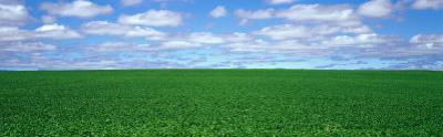 Bush Bean Field, Mcminnville, Oregon, USA