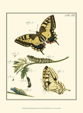 Butterfly Metamorphosis III