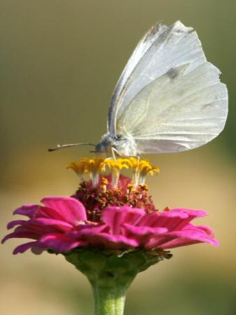 Butterfly Sits in the Bloom of a Flower (Zinnia Elegans)