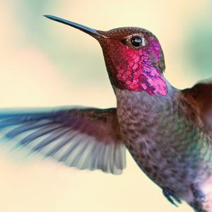 Anna's Hummingbird by by Ed Sweeney