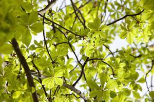 Leaves of a Chestnut Tree by By