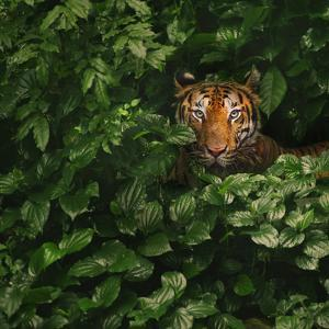 Bengal Tiger by by toonman