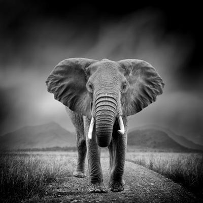 Black and White Image of A Elephant by byrdyak